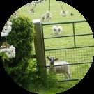 Shepherding Lambs Counselling and Training Avatar